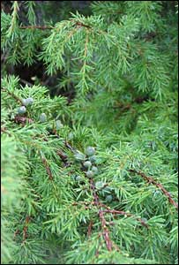 Juniper berries  (Copyright Plantlife)