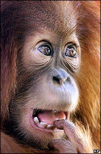 Orangutan  Image: AP