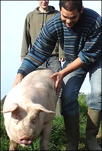 Tom herding his pig
