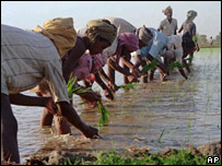 Indian rice farmers  Image: AP