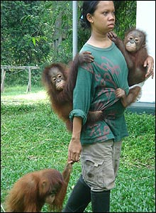 Borneo's Orangutan Survival Foundation