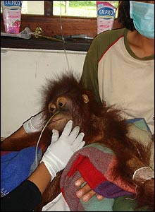Clinic at Borneo's Orangutan Survival Foundation