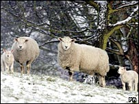 Sheep in the snow in County Durham