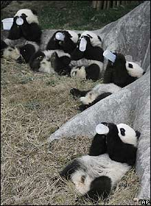 Panda cubs drink from bottles at a nature reserve in China