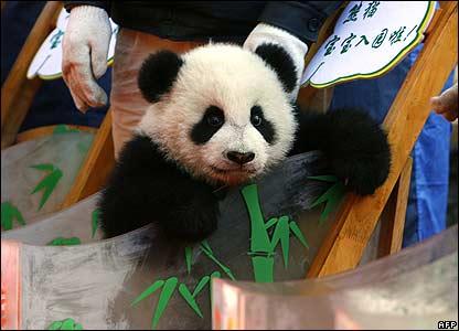 Baby panda Fu Wa