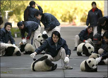 Breeders play with panda cubs before a ceremony at China Conservation and Research Centre for the Giant Panda