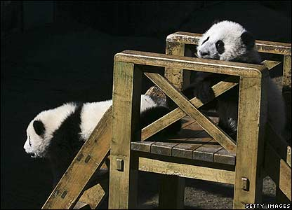 Panda cubs play on a slide at a panda reserve in China