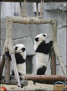 Two giant panda cubs play at a panda reserve in China