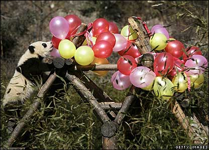 A panda cub tries to touch balloons at a nature reserve in China