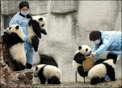 Panda cubs play with their keepers at a breeding centre
