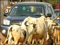Cattle waking past 4X4 vehicle in Abuja