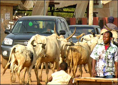 Cattle walking past luxury vehicle