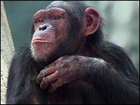 Chimpanzee  Image: BBC