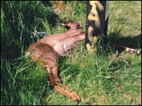 Dead roe deer - picture from the Scottish SPCA