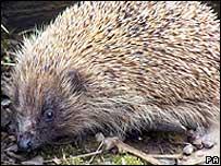 Hedgehog (Pic: Uist Hedgehog Rescue Centre/PA)