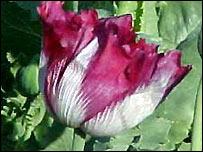 An opium poppy in Afghanistan