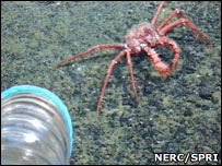 Crab in the Antarctic