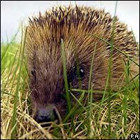 Hedgehog. Image: PA