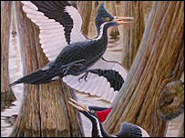 The ivory-billed woodpecker (Cornell)