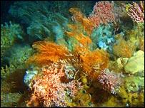 Aleutian Islands coral garden  [Image courtesy Alberto Lindner/Noaa]