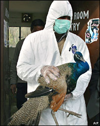 An infected peacock being taken away from the Islamabad zoo