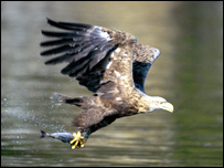 White-tailed sea eagle [Pic: RSPB images]