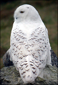 Snowy owl (Pic: Martin Scott, RSPB Scotland)