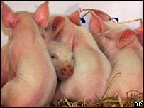 Clones piglets