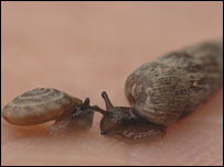 Two-lipped door snail (R) and the hairy German snail