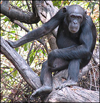 Senegal%20chimp%20%20%20Image:%20Iowa%20State%20University
