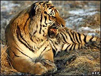 Siberian tiger at breeding centre in Harbin, northeast China