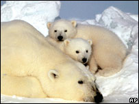 Polar bear and cubs (Image: AP)