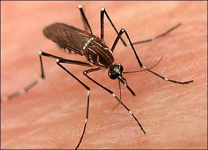 Mosquito Aedes Aegyptis