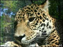 Undated photo from Denver Zoo of the jaguar