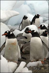 Gentoo penguins (Image: BBC)