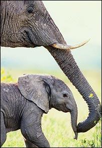 African elephant  Image: PNAS