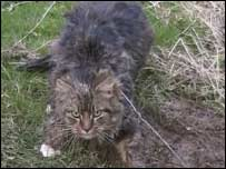 A cat caught in a snare. Pic by League Against Cruel Sports.