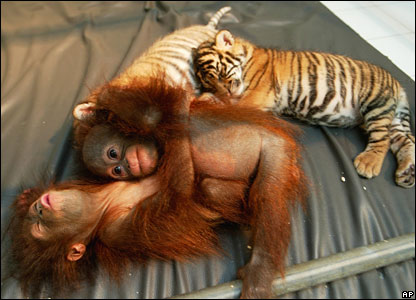 Orang-utans and cubs