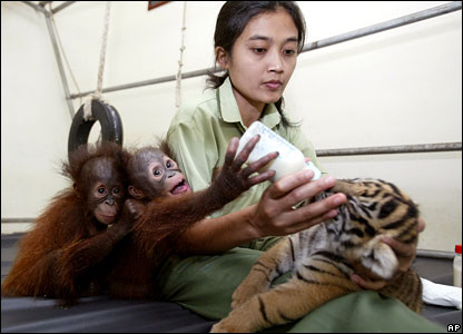 Sri Suwarni gives milk to tiger cub Manis with two baby orang-utans in a nursery room at the Taman Safari zoo