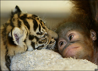 Tiger cub and orang-utan