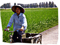 A man riding a bicycle next to a rice field