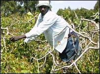 Khat farmer