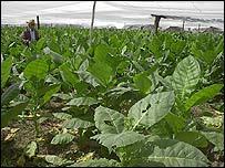 Plantaciones de tabaco en Pinar del Río