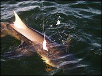 the lemon shark Mrs Cook caught