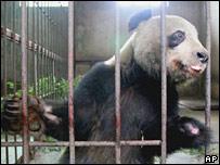 Panda. Image: AP