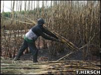 Worker collecting sugar cane (Image: Tim Hirsch)