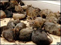 Rats (file image)