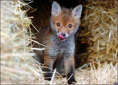 """Obrázok """"http://newsimg.bbc.co.uk/media/images/42661000/jpg/_42661913_fox_cub_pa416.jpg"""" sa nedá zobraziť, pretože obsahuje chyby."""