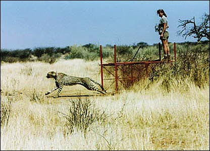 A cheetah is released from a box cage after having a radio collar fitted