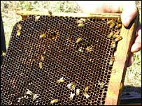 Dead and dying bees in affected hive